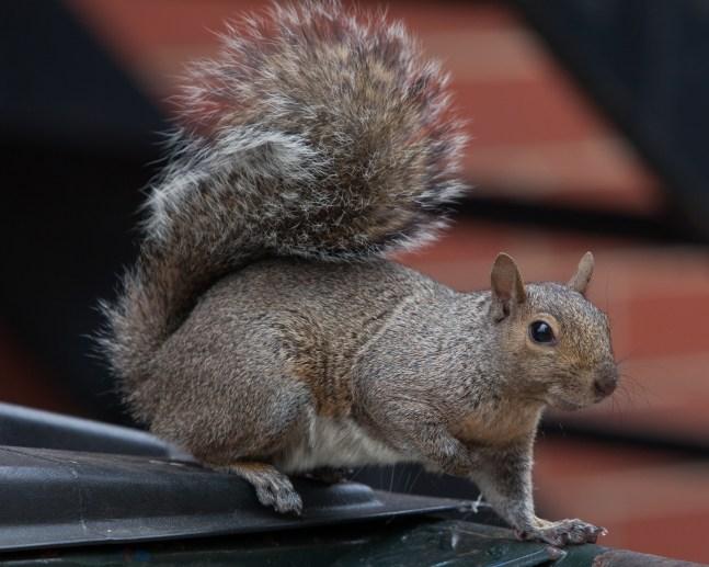 Hyde Park Squirrel (Thomas Oord)