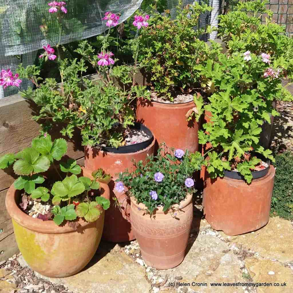 Old Chimney pots as plant containers for Look and Learn at leavesfrommygarden.co.uk
