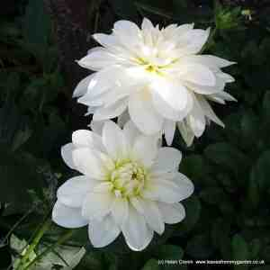 How to care for Dahlias in Winter