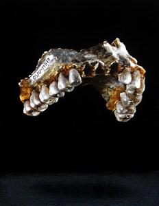 paloma pajaro - fosil - le bastart