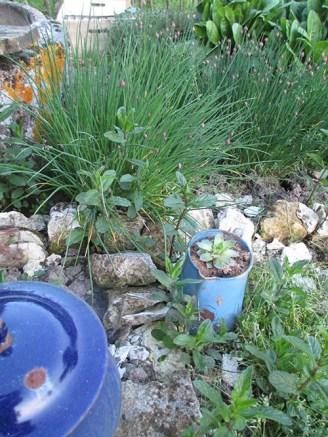 ciboulette et succulente