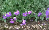 repousse de fleurettes importées du Gard,dont je ne connais pas le nom...