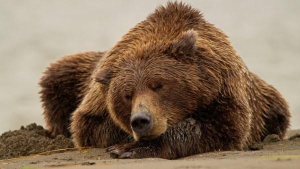 sleeping-bear-wallpaper-12354-12797-hd-wallpapers