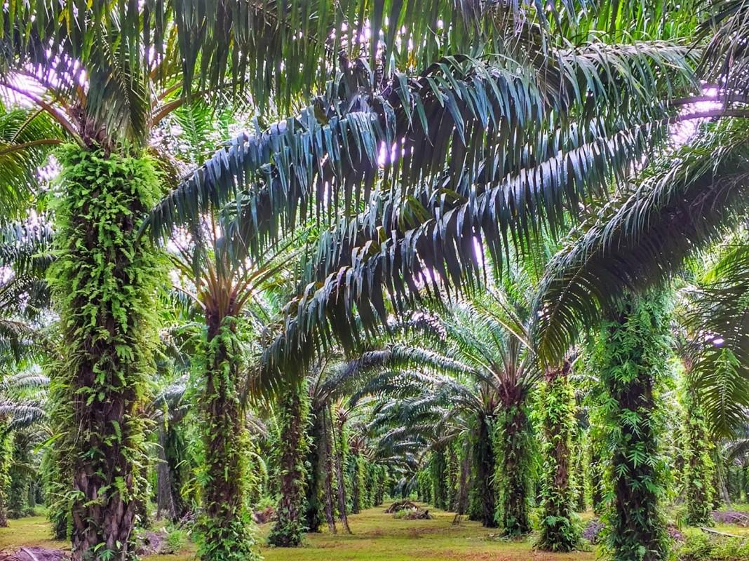 Palmöl Plantage Chumphon Thailand