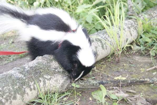 Eliot the Skunk, Fotos: ©Denise Ott