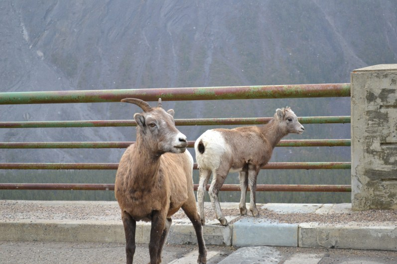 Mountain Goat, Foto: ©Denise Ott