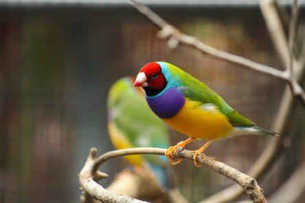 Les oiseaux colores d'Australie