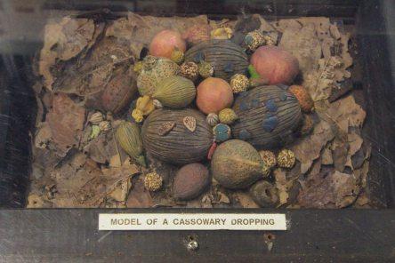 Cassoar au Daintree Discovery Center