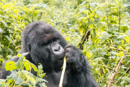 Gorilla met during incredible experience going gorilla tracking