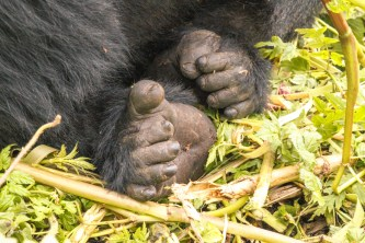 Zoom on a gorilla's feet