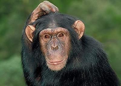tanzania20chief20of20forest-chimp_junior1