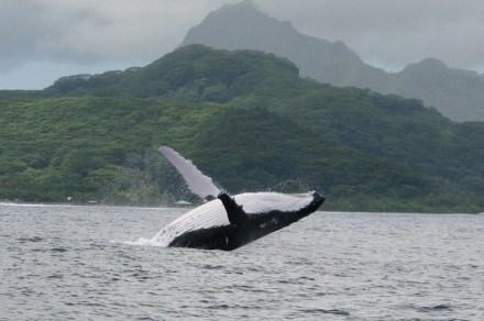 Baleia pulando em Raiatea