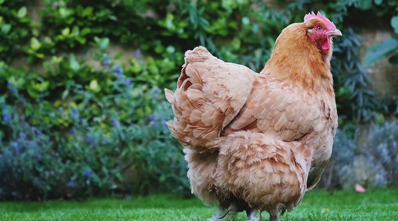 Comment installer des poules dans son jardin ? - Le blog du hérisson