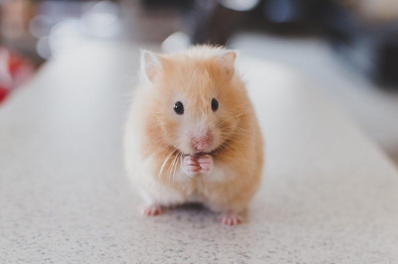 Hamster : tout savoir avant de l'adopter ! - Le blog du hérisson