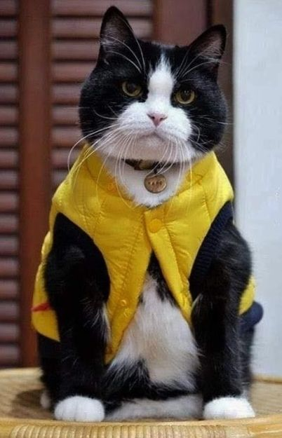 chat gilet-jaune