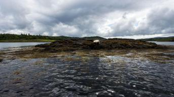Colonie de phoques du Loch Dunvegan
