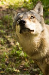 Loup du Mercantour