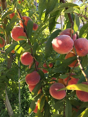 Money-Making With Fruit Picking: Business Ideas for Kids