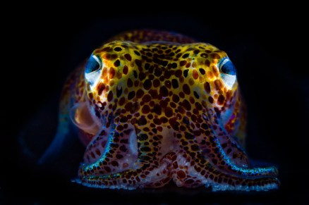 Euprymna scolopes photographié par Mattias Ormestad pour National Geographic