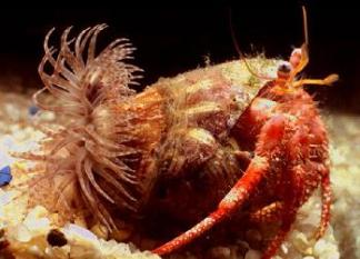 Un bernard-l'hermite commun et son anémone de mer. Photo : Puteauxplongee.com
