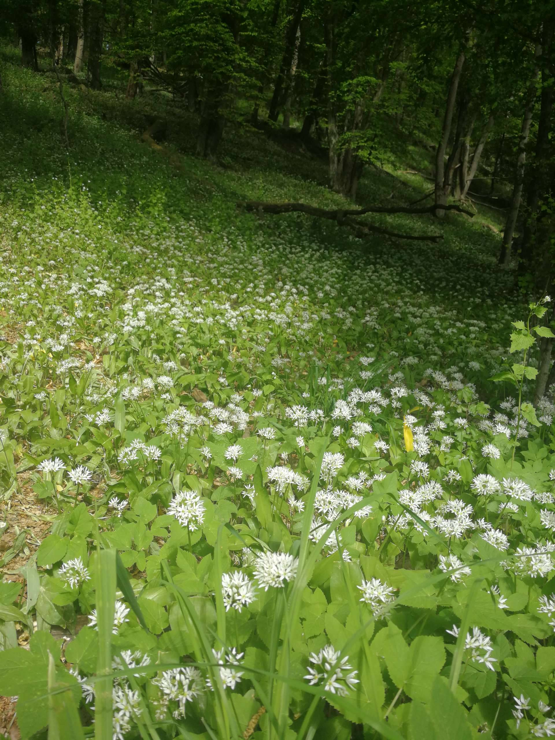 ramsons wild garlic in the forest