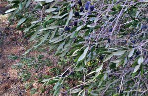 ulivi-potati-con-olive-tap
