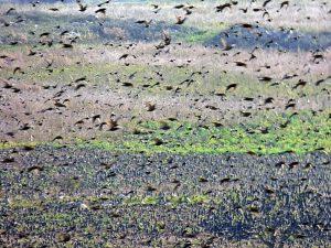 stormo-uccelli-migratori-10