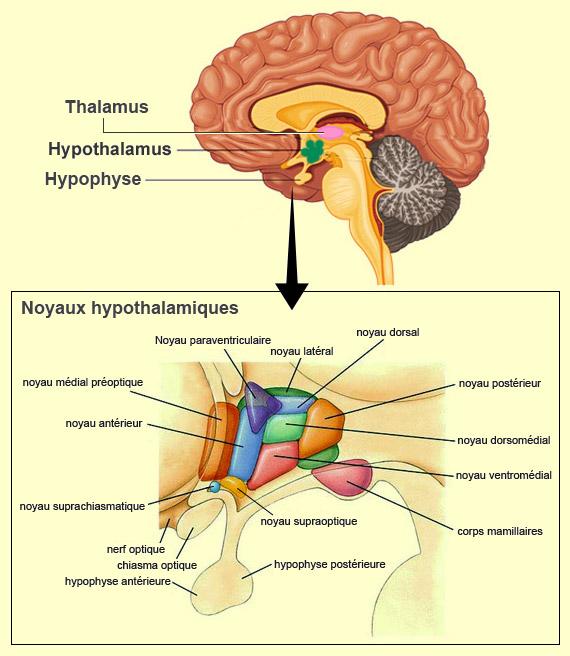 Noyaux hypothalamiques - LES VOIES DÉSIRANTES DE L'HYPOTHALAMUS - lecerveau.mcgill.ca