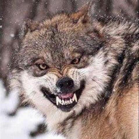 L'Église contre le loup