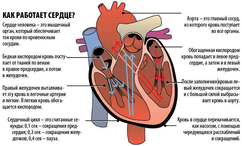 они картинка желудочка сердца самый