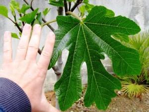 Листа от смокиня – по-полезни от самия плод