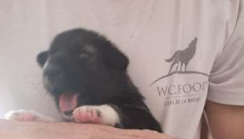 3 chiots Alaskan Husky lignée course à vendre