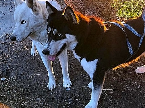 À donner : Mâle et femelle husky/groenlandais