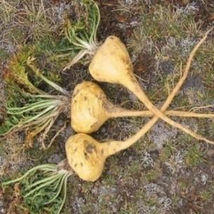 maca-du-pérou-lepidium-meyenii-graines.jpg