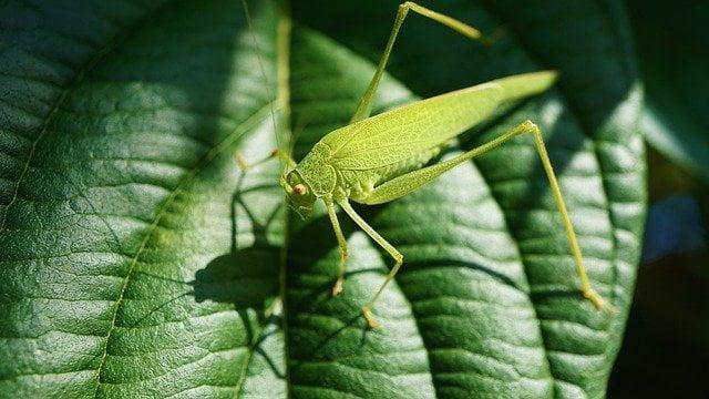 Locuste in India e Sardegna: la piaga climatica si abbatte sugli agricoltori