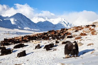 The cattle and the yak chilling on the snow