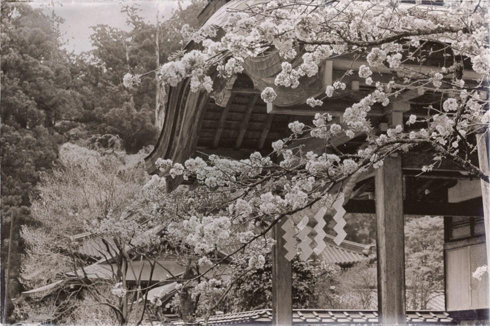 Japón. Templo en bosque. Almendros en flor en primavera.. Fotografía por Nacho Goberna © 2004