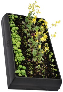 A center row of fast-flowering Brassicas makes it easier to wait for slower-germinating seeds