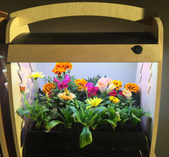 Dwarf varieties of flowers can be grown to full flower in your Habitat Planting Tray if thinned & given nutrients (N-P-K fertilizer or compost)