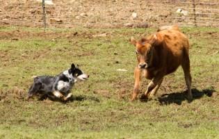 Jake herding cattle