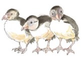 image of pufflings
