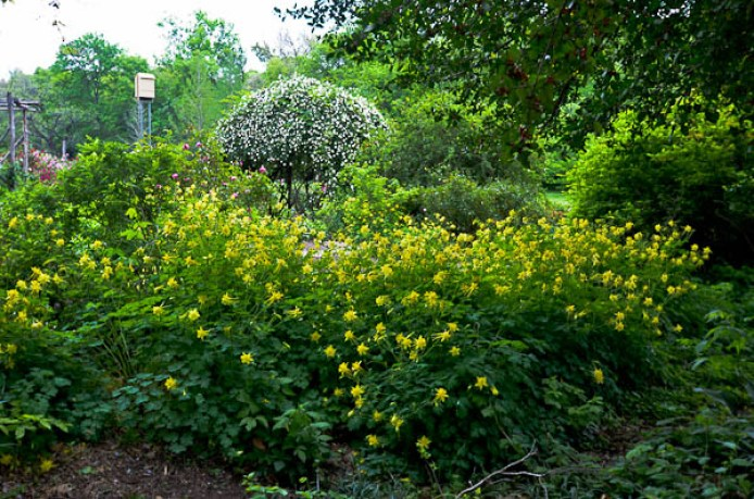 Texas perennial garden top ten summer perennials lee ann torrans with the demise of roses due to rose rosette disease consider combining texas gold columbine a texas superstar tm with yellow esperanze to create a mightylinksfo