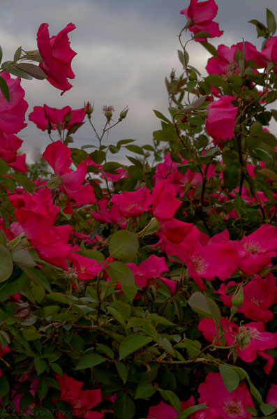 Lee-Ann-Torrans-Roses-Chireno