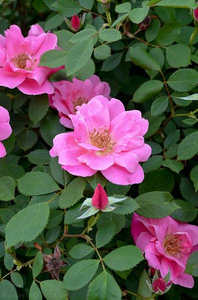 Lee-Ann-Torrans-Roses-Kati-Girl-