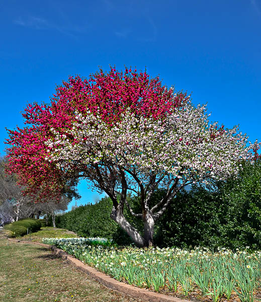 LeeAnnTorrans-Crabapple-Tree-Dallas-22