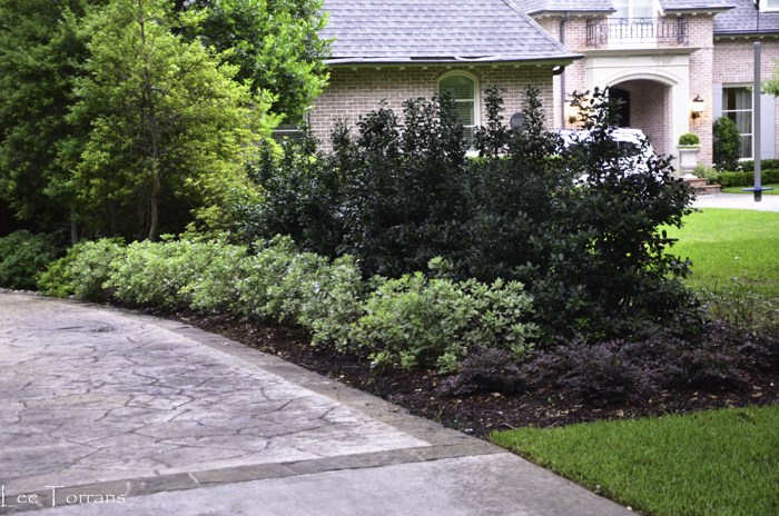 Pittosporum_Loropetalum_Lee_Ann_Torrans_Dallas_Gardening