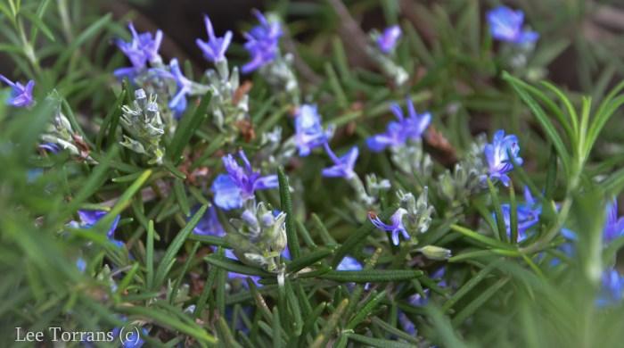 Thyme_Blooming_Texas_Lee_Ann_Torrans