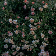 Lee-Ann-Torrans-Noisette-Shrub-Rose-Crepuscule-15