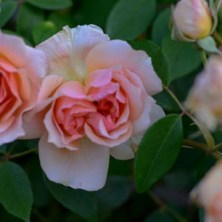 Lee-Ann-Torrans-Noisette-Shrub-Rose-Crepuscule-16