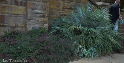 Purple Nandina with Fan Palm